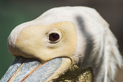 Closeup detail of a pelican head Royalty Free Stock Photos