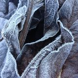 Closeup and detail on a pile of frosted dead leaves in a forest undergrowth in winter. Closeup and detail on dead leaves covered with hoarfrost, in a forest Royalty Free Stock Image