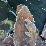 Closeup and detail on a pile of frosted dead leaves in a forest undergrowth in winter. Closeup and detail on dead leaves covered with hoarfrost, in a forest Royalty Free Stock Photo
