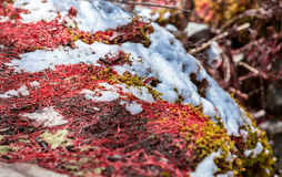 Closeup detail of the red moss grown on rocks Stock Photos