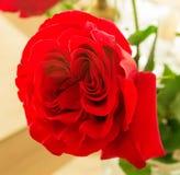 Closeup of Rose Stock Photo