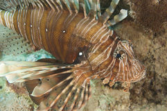 Closeup detail of red sea lionfish Royalty Free Stock Image