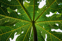 Closeup, detail and texture of papaya leaf, wonderful green background Royalty Free Stock Images