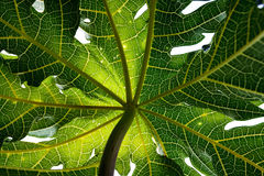 Closeup, detail and texture of papaya leaf, wonderful green background Stock Photography