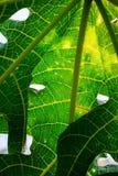 Closeup, detail and texture of papaya leaf, wonderful green background Stock Photo