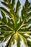 Closeup, detail and texture of papaya leaf, wonderful green background Royalty Free Stock Photos