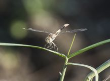 Closeup detail of wandering glider dragonfly on blade of grass Royalty Free Stock Images
