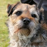 Portrait of a Border Terrier royalty free stock photos