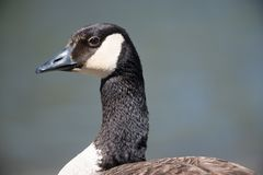 Closeup detailed portrait of a Canada goose potential a cackling goose but I am  not certain with a dark blue background - taken. At the Minnesota Valley stock image