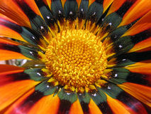Closeup details of colorful sunflower Stock Images