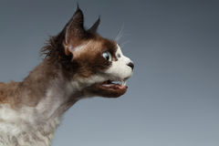 Closeup Devon Rex hisses in Profile view on Gray Royalty Free Stock Images