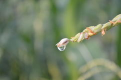 Closeup of dew drop on corn tassels in the early morning Stock Image