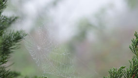 Closeup dew drop on spider`s web. On the pine leaf background Royalty Free Stock Photo