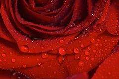 Closeup of Dew Drops on a Beautiful Red Rose Royalty Free Stock Photo