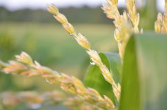 Closeup of dew drops on corn tassels in the early morning Stock Image