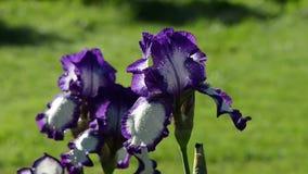 Closeup of dewy multicolor iris flower move in wind stock video