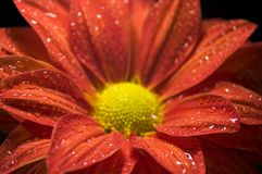 Closeup of Dewy, Red Chrysanthemum Stock Image