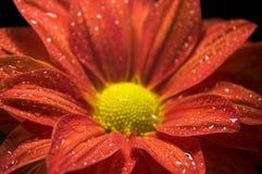 Closeup of Dewy, Red Chrysanthemum Stock Image