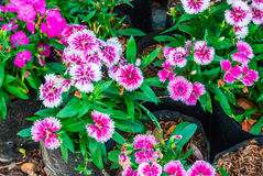 Closeup Dianthus Chinensis/ Chaina Pink/ Indian Pink Background Stock Photos