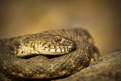 Closeup of dice snake. Close up of dice snake Natrix tessellata royalty free stock images