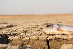 Closeup of died Fish in a dried up empty reservoir or dam due to a summer heatwave, low rainfall, pollution and drought in north. Karnataka,India stock images