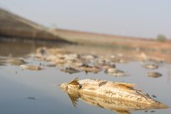 Closeup of died Fishes in a dried up empty reservoir or dam due to a summer heatwave, low rainfall, pollution and drought in north. Karnataka,India royalty free stock images