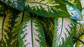 Closeup of dieffenbachia leaves with beautiful pattern. stock image
