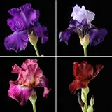 Closeup of different irises Royalty Free Stock Image