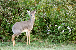 Closeup of Dik Dik antelope Stock Images