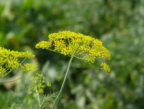 Closeup of blooming dill flowers stock photo