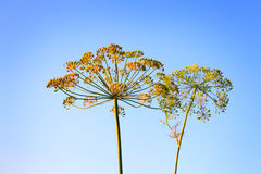 Closeup of Dill flower umbels in autumn on blue stock image