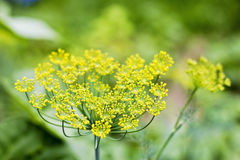 Closeup of dill Royalty Free Stock Photography
