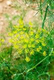 Closeup of dill growing Royalty Free Stock Images