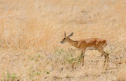 Closeup of the diminutive Steenbok. Closeup of Steenbok scientific name: Raphicerus campestris , or `Funo or Tondoro` in Swaheli in the arangire National park Stock Photos