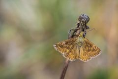 Closeup of a dingy skipper butterfly, Erynnis tages, resting. On vegetation in a meadow royalty free stock photography