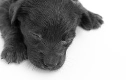 Closeup dirty baby dog sleeping on white background, selective f Stock Photo