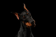 Closeup Doberman Pinscher Dog Curious Looking in Camera, isolated Black Royalty Free Stock Photo