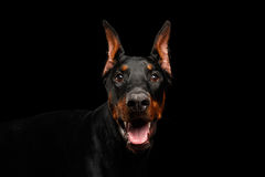 Closeup Doberman Pinscher Dog Looking in Camera on isolated Black Royalty Free Stock Image