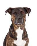 Closeup of Dog With Brindle Coat Royalty Free Stock Images