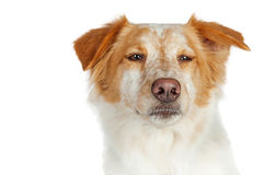 Closeup Dog With Funny Scowl Expression royalty free stock photos