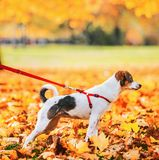 Close up on dog on leash outdoors in autumn Stock Photos