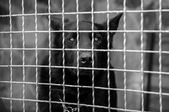 Closeup of a dog looking through the bars of a cage. Black and white. bw royalty free stock photo
