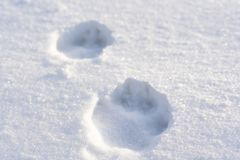 Closeup of Dog Paw Prints in the Snow on a Sunny Winter Day. Concept of Wildlife and Survival royalty free stock photography