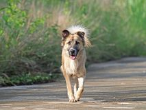 Dog Running Isolated on Nature Background. Closeup Dog Running Isolated on Nature Background Stock Images