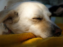 Closeup of dog sleeping. Head of a female dog sleeping with the mouth on a towel Stock Photo