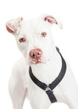 Closeup Of A Dogo Argentino Dog. A closeup of a Dogo Argentino Dog looking forward Stock Photo