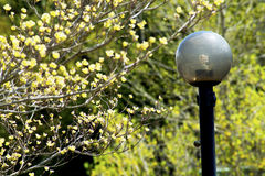 Closeup Dogwood Tree blooms frame an iron streetlight. Stock Image