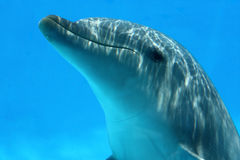 Closeup Of Dolphin Playing. Ocean Life - Dolphin playing in the blue water stock image