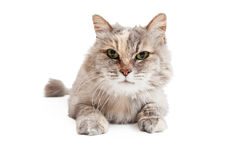 Closeup Of Domestic Medium Hair Mixed Breed Cat Stock Image