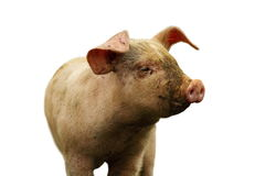 Closeup of domestic pig over white. Closeup of young domestic pig isolated over white background Royalty Free Stock Image